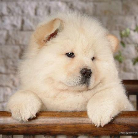 Chow_Chow cachorro