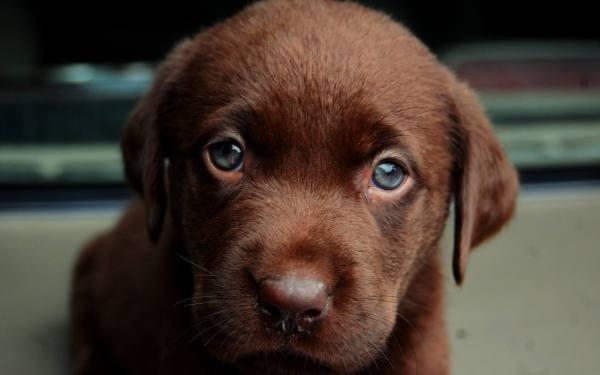 cachorro-labrador-ojos-claros