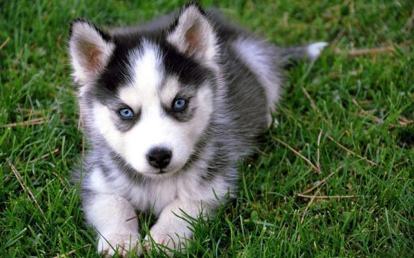 cachorro_husky