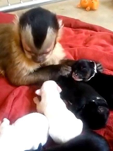el-emotivo-video-de-un-mono-y-sus-nuevos-cachorros-fragmento-video