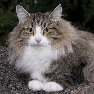 gato_bosque_de_noruega