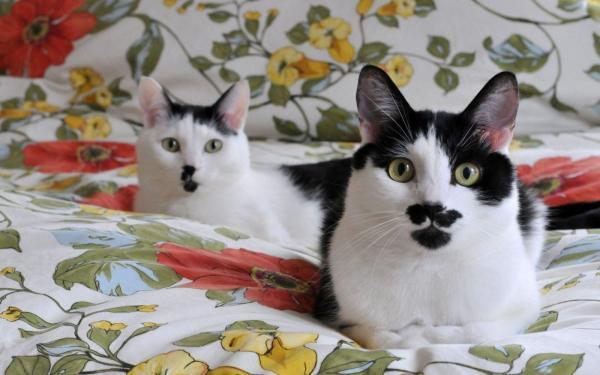 gatos-bobtail-japones