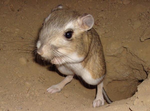 la-rata-canguro