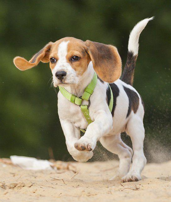 las-10-razas-de-perro-preferidas-en-usa-eeuu-beagle