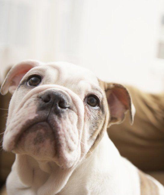 las-10-razas-de-perro-preferidas-en-usa-eeuu-boxer