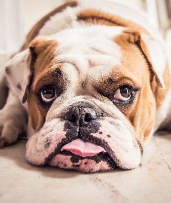 las-10-razas-de-perro-preferidas-en-usa-eeuu-bulldog