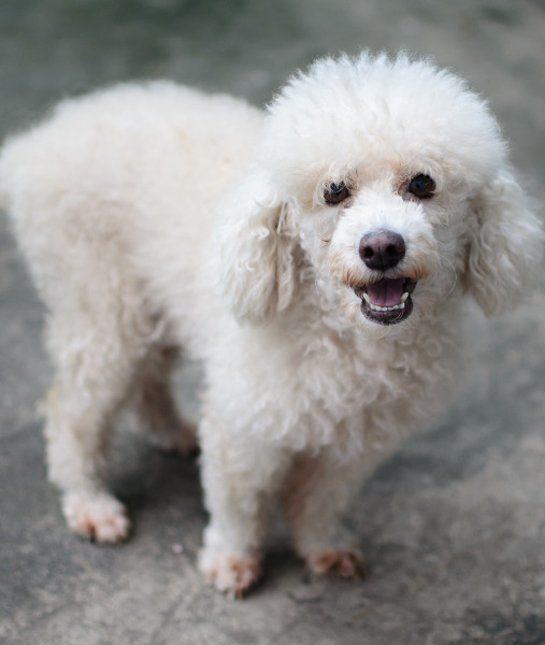 las-10-razas-de-perro-preferidas-en-usa-eeuu-caniche