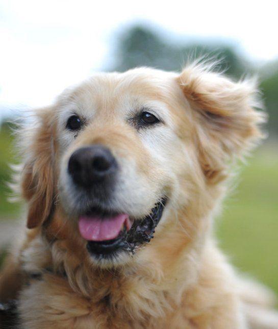 las-10-razas-de-perro-preferidas-en-usa-eeuu-golden-retriever