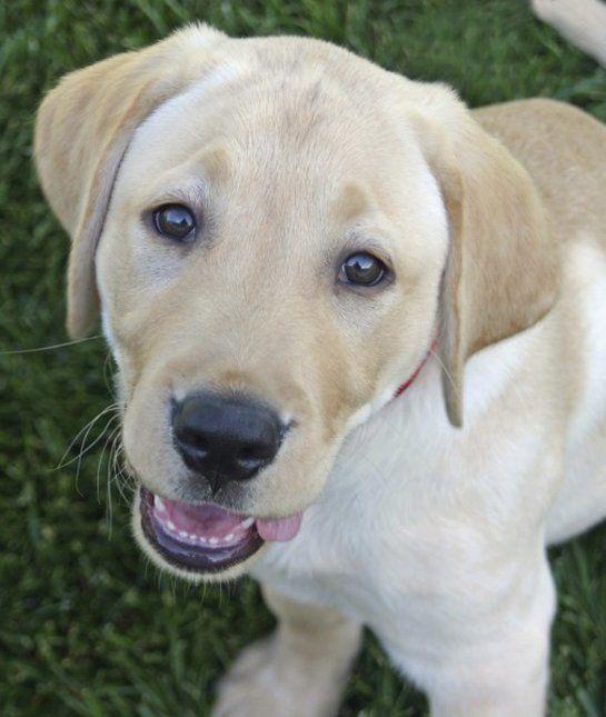 las-10-razas-de-perro-preferidas-en-usa-eeuu-labradror-retriever