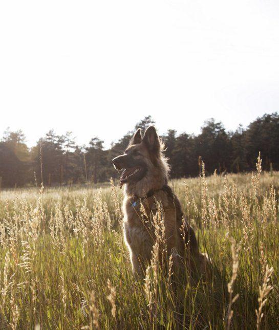 las-10-razas-de-perro-preferidas-en-usa-eeuu-pastor-aleman