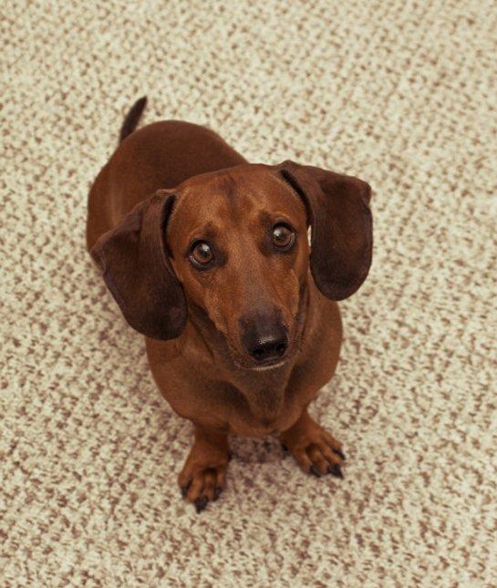 las-10-razas-de-perro-preferidas-en-usa-eeuu-teckel-perro-salchicha