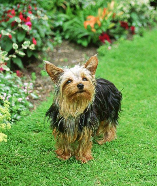 las-10-razas-de-perro-preferidas-en-usa-eeuu-yorkshire-terrier