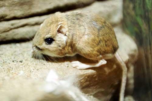 rata-canguro-ejemplar-en-unas-rocas