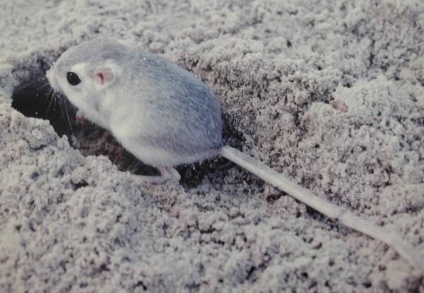 rata-canguro-reproducción