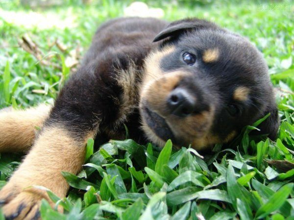 rotweiller_cachorro-1024x768