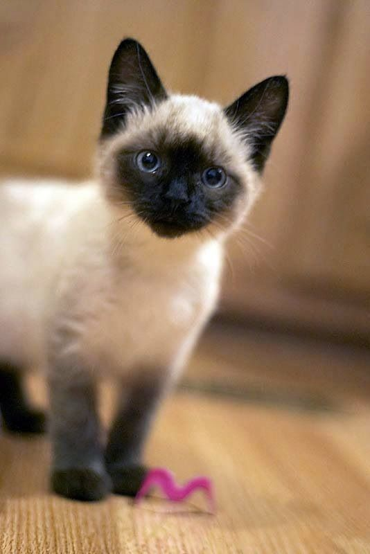 tipo gato siames