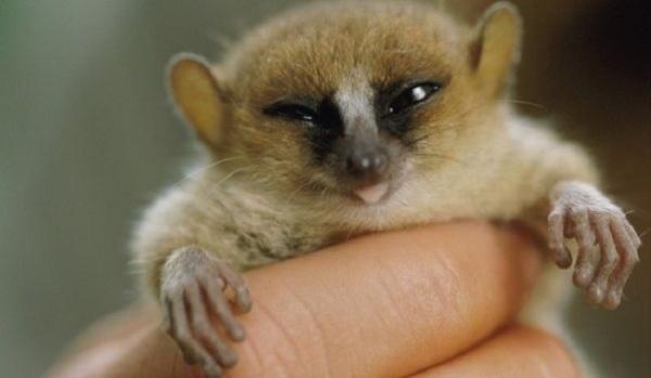 Lemur cogida por persona