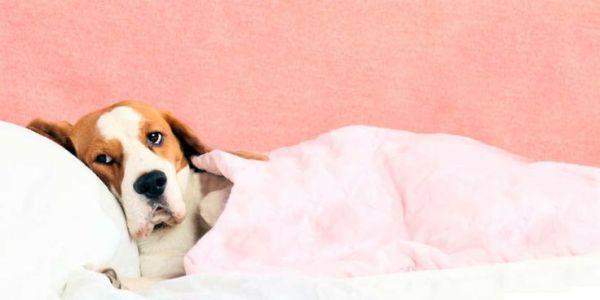 perro contagiado leishmaniosis