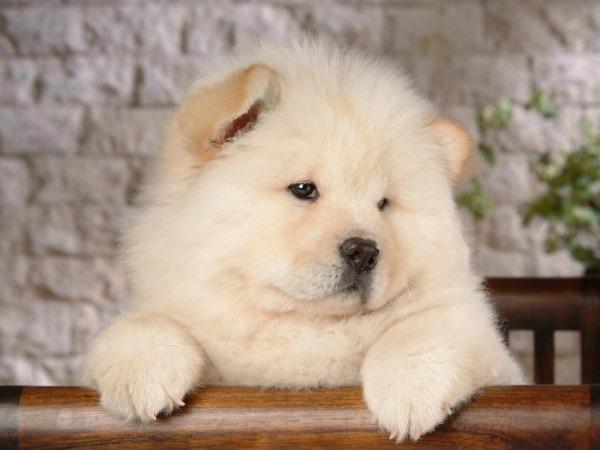 la-gran-moda-de-los-perros-panda-en-china-cachorro-chowchow