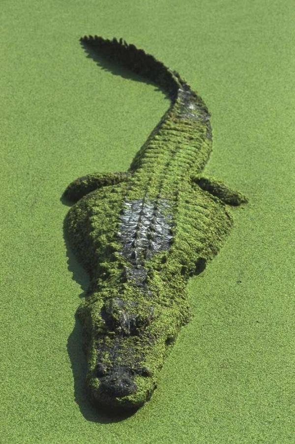 cocodrilo americano