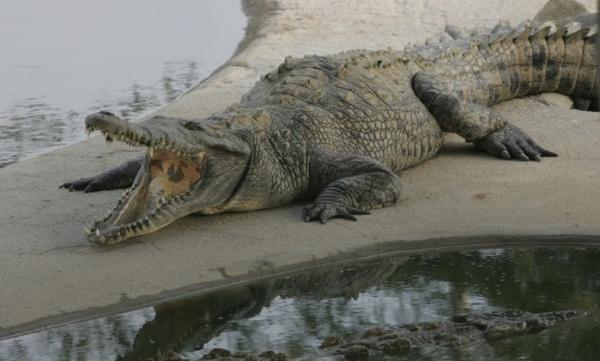 cocodrilo marino
