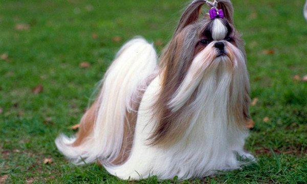 cortes-de-pelo-para-perros-shih-tzu-cabello-largo