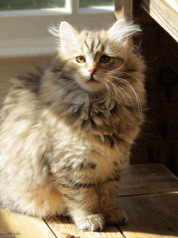 gato siberiano mascotas hipoalergenicas