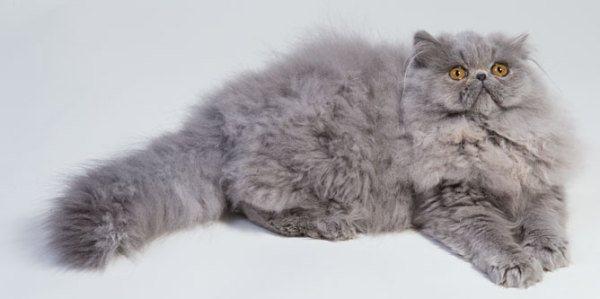 gatos-persas-caracteristicas-comportamiento