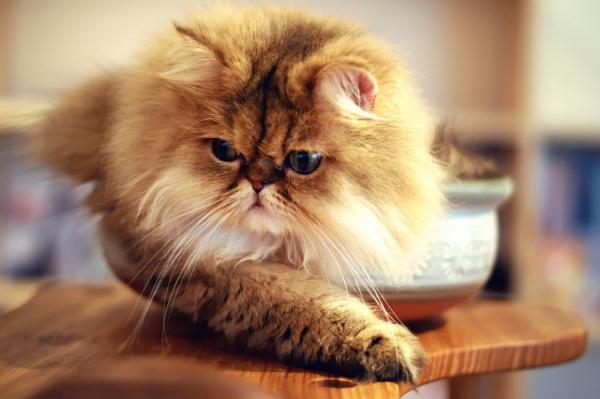gatos-persas-cuidados