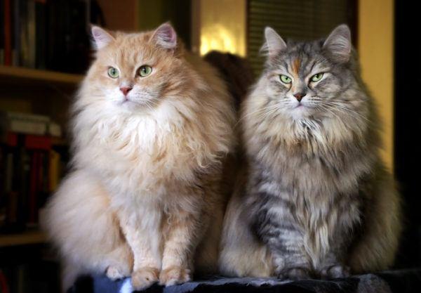 Mascotas hipoalergnicas siberiano