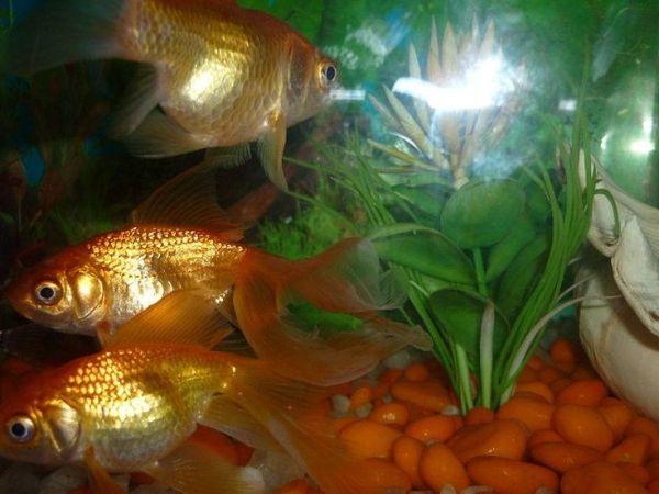peces dorados 2015