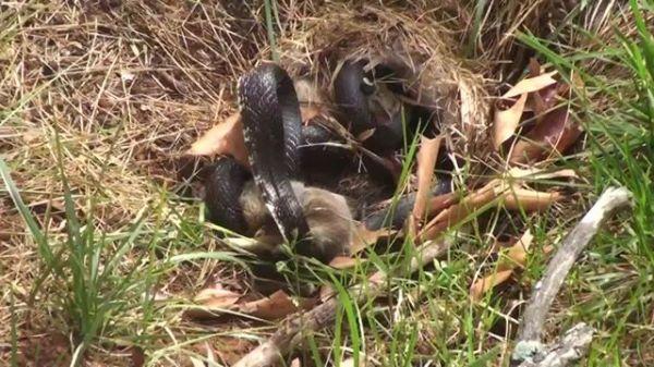 una-mama-conejo-pelea-con-una-serpiente-para-salvar-a-sus-conejitos-comienzo-video