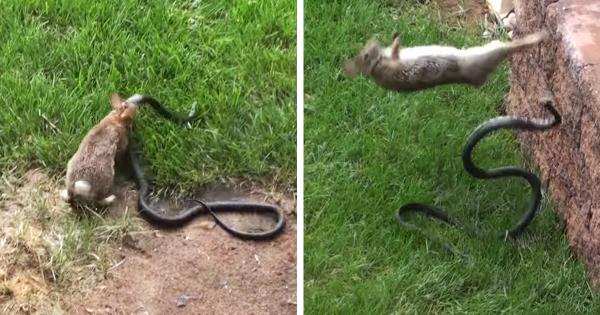 una-mama-conejo-pelea-con-una-serpiente-para-salvar-a-sus-conejitos-momentos-de-la-pelea