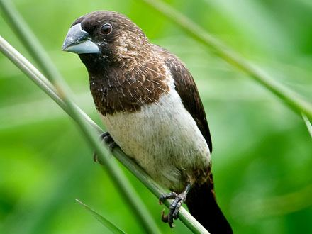 Pájaro Trópical Isabelita del Japón