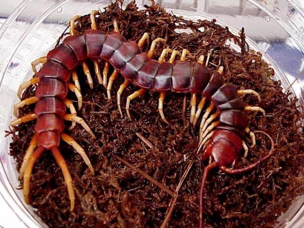 cual-es-el-pais-que-tiene-los-animales-mas-peligrosos-del-planeta-cienpies-venenoso