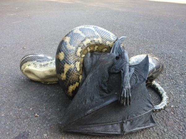 cual-es-el-pais-que-tiene-los-animales-mas-peligrosos-del-planeta-serpiente-comiendo-zorro-volador