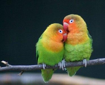 pajaros-tropicales-y-aves-exoticas-agapornis-pareja