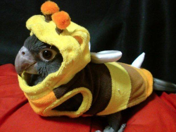 disfraces-caseros-para-mascotas-Carnaval-2016-disfraz-de-abeja-para-un-loro