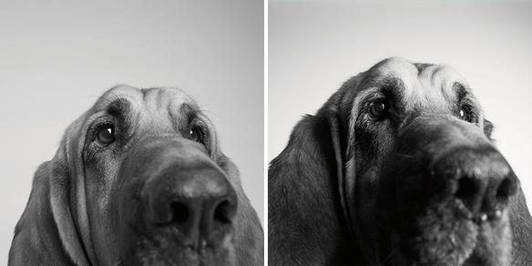 perro-joven-perro-adulto-copper
