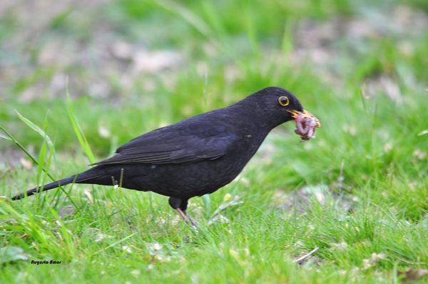 animales-omnivoros-aves-mirlo