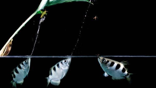 animales-omnivoros-omnivoro-pez-arquero