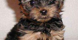 Yorkshire Terrier – Origen, cuidados, características, precio y fotos