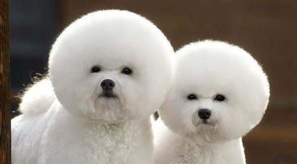 Corte de pelo en bichon frise