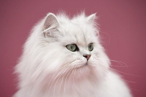 gatos-persas-cuidados-y-caracter-blanco
