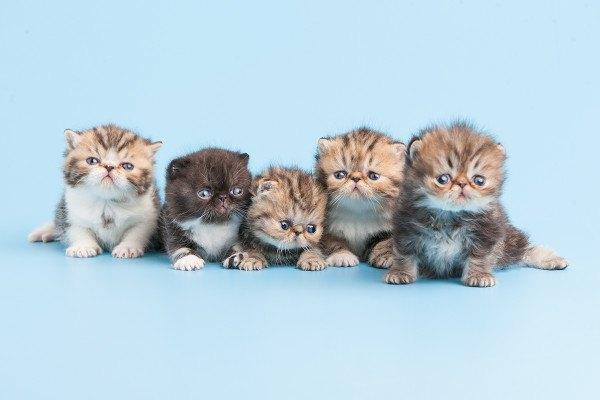 gatos-persas-cuidados-y-caracter-cachorros