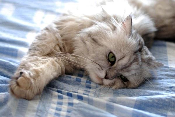 gatos-persas-cuidados-y-caracter-carinosos