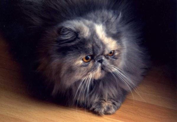 gatos-persas-cuidados-y-caracter-gris