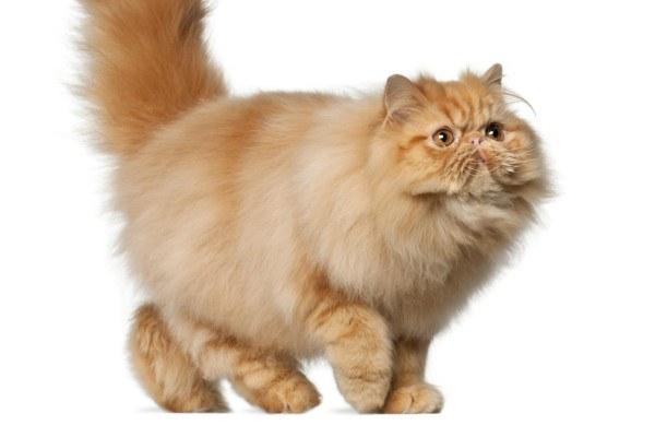 gatos-persas-cuidados-y-caracter-obesidad
