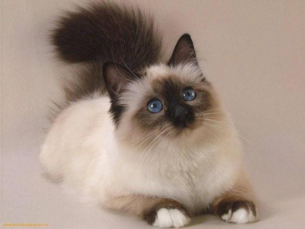 gatos-persas-cuidados-y-caracter-pardo