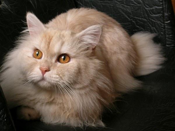 gatos-persas-cuidados-y-caracter-pelo-largo